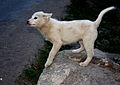 Husky Puppy! (3978348969).jpg