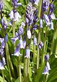 Hyacinthoides-non-scripta-hispanica2.jpg