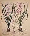 Hyacinthus orientalis mixtus-Ornithogalum minus-Hyacinthus orientalis veriegatus.jpg