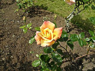 Rosa Sutter