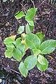 Hydrangea macrophylla (Thunb.) Ser. (AM AK361280-4).jpg