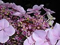 Hydrangea macrophylla 2018-07-09 4744.jpg