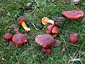 Hygrocybe punicea 3 Rosemary Winnall.JPG