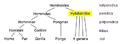Hylobatidae taxonomy-hr.PNG