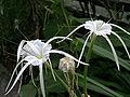 Hymenocallis littoralis 001.jpg