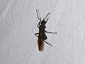 Hymenoptera sp. (41141585301).jpg