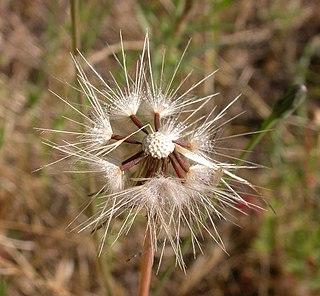 <i>Hypochaeris glabra</i> species of plant