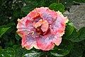 IMG 8159 Hibiscus Photographed by Peak Hora.jpg