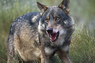 Iberian wolf - Alpha male Iberian wolf with blood stains in its snout