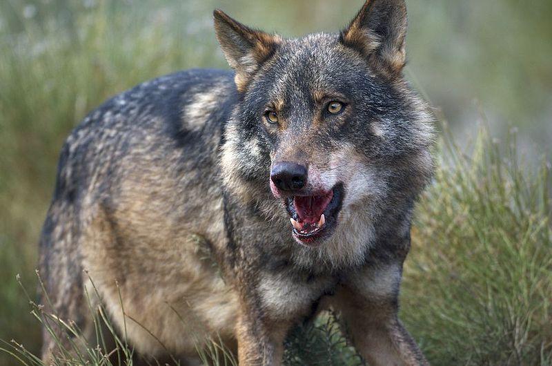 File:Iberian Wolf.jpg