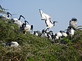 Ibis nesting in Scottbough's Crocworld - panoramio.jpg