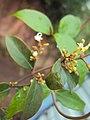 Ichnocarpus frutescens 07.JPG