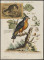 Ierax caerulescens - 1700-1880 - Print - Iconographia Zoologica - Special Collections University of Amsterdam - UBA01 IZ18200263.tif