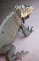 Iguana delicatissima at Batalie Beach a08.jpg