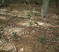 Ilex aquifolium1 ies.jpg