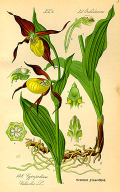 Kaunis kuldking Cypripedium calceolus