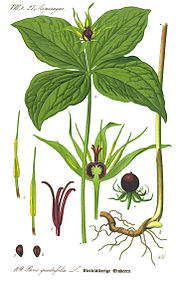 Illustration Paris quadrifolia0 clean.jpg