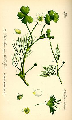 Illustration Ranunculus aquatilis0.jpg