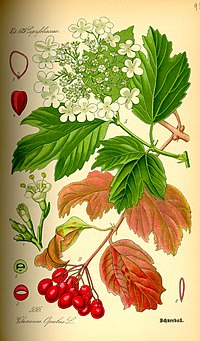 Illustration Viburnum opulus0.jpg