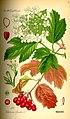 Illustration Viburnum opulus0.jpg