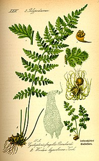 <i>Woodsia alpina</i> species of plant