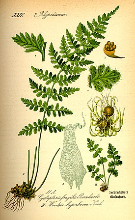 Illustration Woodsia alpina0.jpg