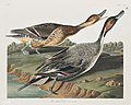 Illustration from Birds of America (1827) by John James Audubon, digitally enhanced by rawpixel-com 227.jpg