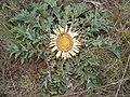 Image-Carlina acanthifolia 0003.jpg