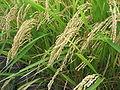 Image-Rice japonica akituho.jpg