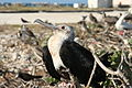 Immature Great Frigatebird.jpg