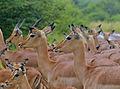 Impalas (Aepyceros melampus) (12717558345).jpg