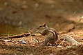 Indian Palm Squirrel DSC 2978.jpg