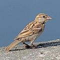 Indian sparrow (Passer domesticus indicus) immature Udaipur.jpg