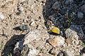 Inflated beetle (Cysteodemus armatus) (16650820310).jpg