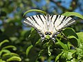 Iphiclides podalirius - Scarce swallowtail - Подалирий (41131232682).jpg