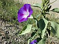 Ipomoea purpurea sl5.jpg