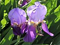 Iris × germanica flower.jpg