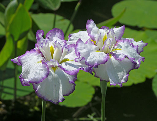 Iris ensata, 'Arctic Fancy' cultivar (Chanticleer Garden)