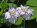 Iris ensata, 'Arctic Fancy' cultivar (Chanticleer Garden).jpg
