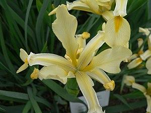 Iris orientalis - Image: Iris orientalis 2007 05 13 356