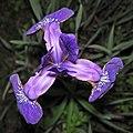Iris virginica (Virginia iris) (Newark, Ohio, USA) 5 (27196069884).jpg