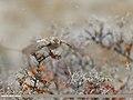 Isabelline Wheatear (Oenanthe isabellina) (48051077456).jpg