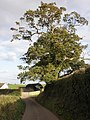 Isolated tree, on the road to Clyst Honiton - geograph.org.uk - 1543165.jpg