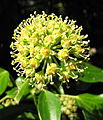 Ivy (Hedera helix) (3956092751).jpg
