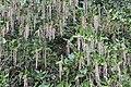 J.A. Witt Winter Garden 08 - Garrya x issaquahensis 'Carl English'.jpg