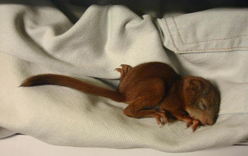 Veverica stromová (lat. Sciurus vulgaris) - mláďa