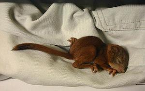 A two weeks old squirrel baby (Sciurus vulgaris).