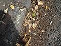 Jacaranda mimosifolia D.Don (AM AK298858-4).jpg
