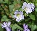 Jacob's Ladder Polemonium reptens Flowers 2341px.jpg