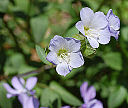 Jacob's Ladder Polemonium reptens Flowers 2341px